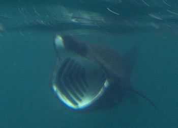 Newfoundland basking shark