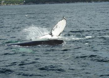 Amazing Humpback Whale action again this morning!
