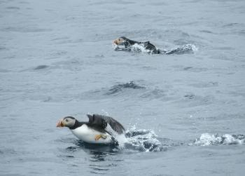 And the puffins are great today as well, can't forget our adorable