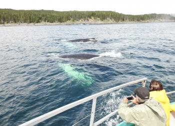 Another day full of Humpback Whales and Minke Whales!