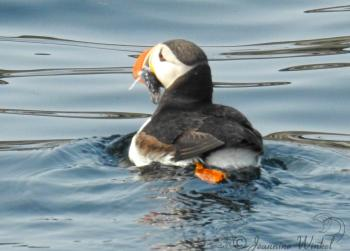 Atlantic Puffin, August 14th 2018