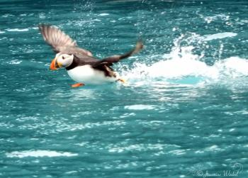 Atlantic Puffin, June 21st