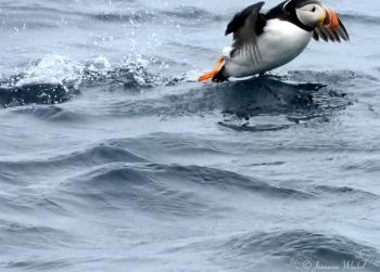 Atlantic Puffin, June 26th