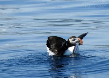 Atlantic Puffin with capelin