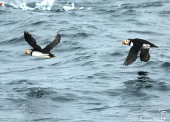 Atlantic Puffins, August 18th 2017