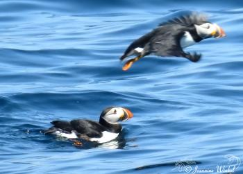 Atlantic Puffins, July 10th 2017
