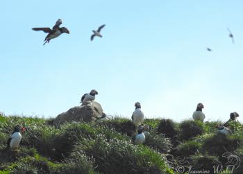 Atlantic Puffins, July 4th 2018