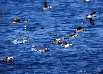 Atlantic Puffins, June 25th