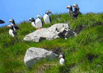 Atlantic Puffins, June 29th 2018