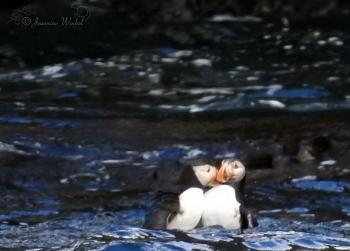 Atlantic Puffins fighting, August 10th 2016