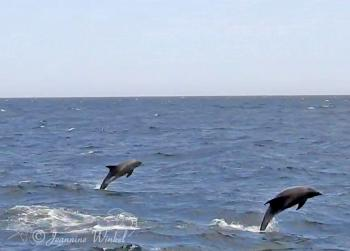 Atlantic White sided Dolphins, August 15th 2018