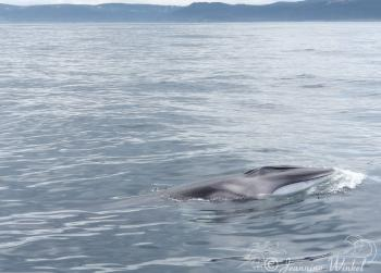 Baby Fin Whale, July 16th 2019