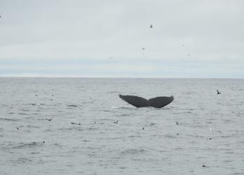 Beautiful morning with lots of Humpback Whales and birds on the water!