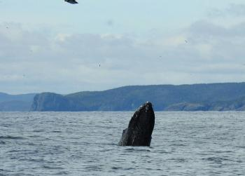 Breaching Humpback Whales this morning! Whales all over again! And Puffins!