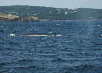Close up with a Fin Whale on this tour and 2 more Fins and a Humpback Whale in the distance!