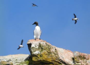 Common Murre, June 27th