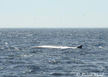 Fin Whale, July 25th 2018