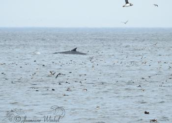 Fin Whale and Puffins, August 2nd 2018