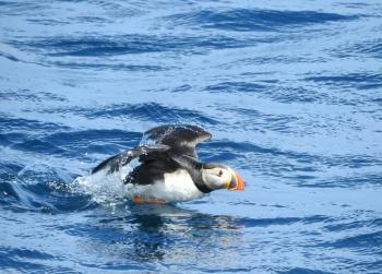 Great day for puffin watching!