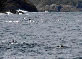 Harp Seals, Minke Whales and Northern Gannets feeding on herring