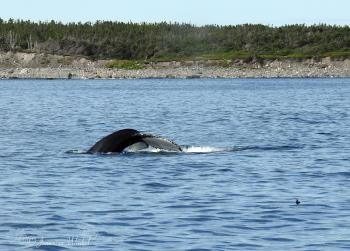 Humpback Whale, August 15th 2016