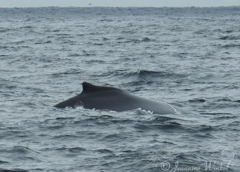 Humpback Whale, August 5th 2018
