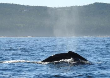 Humpback Whale, August 8th 2016