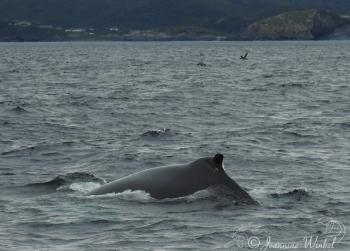 Humpback Whale, July 11th 2018