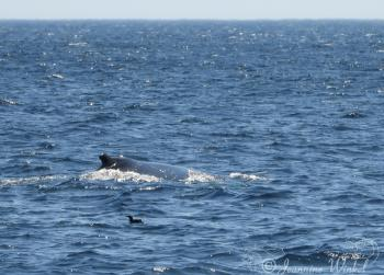 Humpback Whale, July 19th