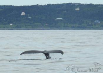 Humpback Whale, July 20st 2018