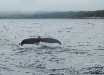 Humpback Whale, July 22nd 2018