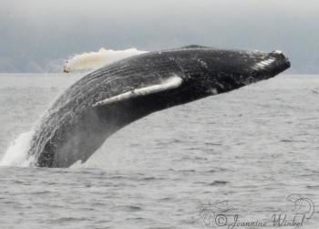 Humpback Whale, July 25th 2019