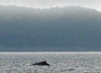 Humpback Whale, July 28th 2016