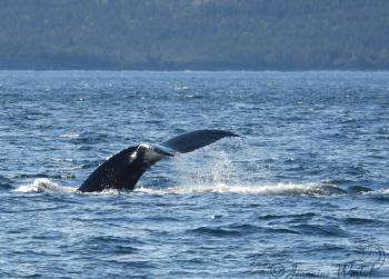 Humpback Whale, July 8th 2019