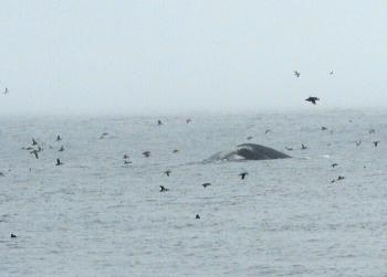 Humpback Whale and Puffins just now!