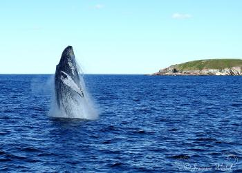 Humpback Whale breaching, August 10th 2016