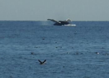 Humpback Whale breaching and a Puffin photo bombing!