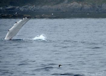 Humpback Whale flippering, June 21st