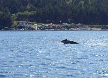 Humpback Whale in front of our dock!
