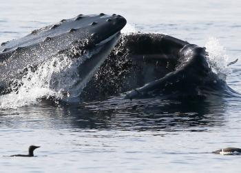 Humpback Whale lunge feeding, July 17th - submitted by a guest
