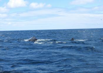 Humpback Whale mom and baby with us now!