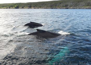 Humpback Whales, July 22nd 2019