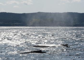 Humpback Whales July 18th, 2019