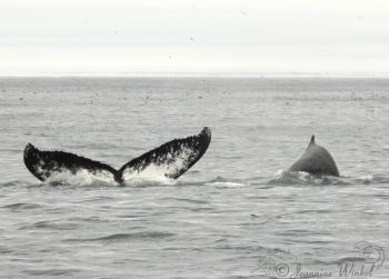 Humpback Whales July 5th 2019