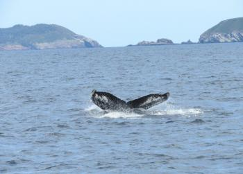 Humpback Whales are around as well
