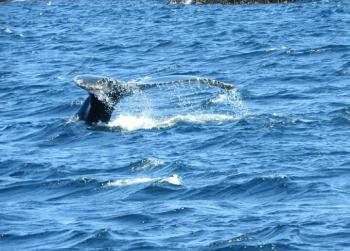 Humpback Whales are out and about today!