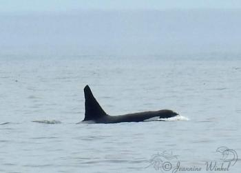 Killer Whales, July 21st 2018