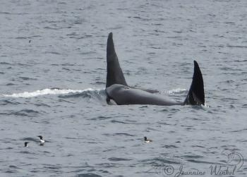 Killer Whales, July 24th 2019