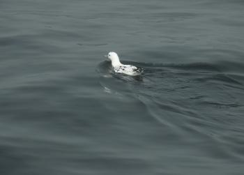 Leucistic Shearwater among the thousands of normal Great and Sooty ones in the bay this morning! 1