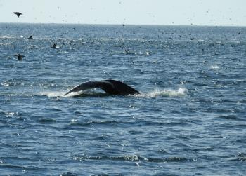 Lots and lots of Humpback Whales and Puffins and Shearwaters are feeding here again today!